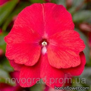 Бальзамин новогв Florific™ Red