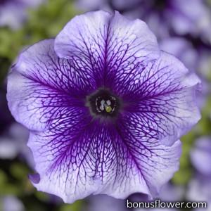 Петуния крупноцв Tritunia F1 Blue Veined