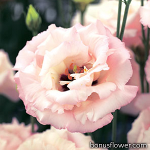 Эустома (Лизиантус) Corelli 3 Light Pink