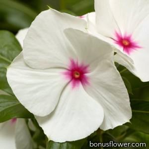 Катарантус розовый Cora XDR Polka Dot