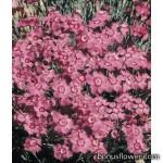 Гвоздика гренобльская - Dianthus gratianopolitanus