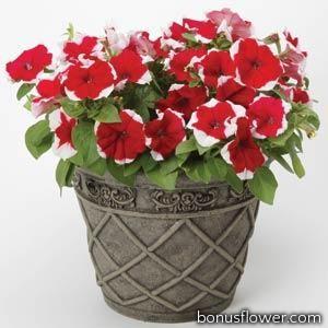 Петуния мелкоцветковая Bella F1 Picotee Red