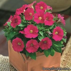 Петуния мелкоцв Picobella™ Pink