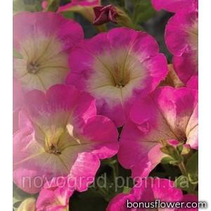 Петуния Picobella™ Rose Morn