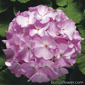 Пеларгония Ringo® 2000 F1 Lavender