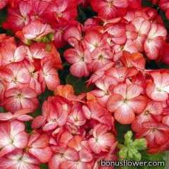 Пеларгония садовая Multibloom Scarlet Eye