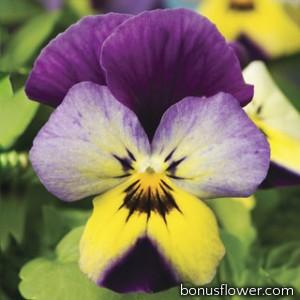 Виола Endurio® Blue Yellow with Purple Wing