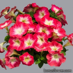 Петуния многоцветковая Mambo GP  red morn