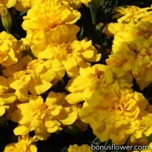 Бархатцы отклон Alumia Yellow
