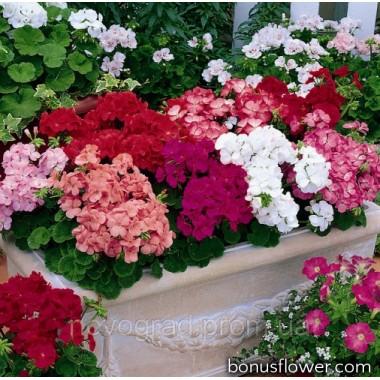 Пеларгония садовая Multibloom Mix
