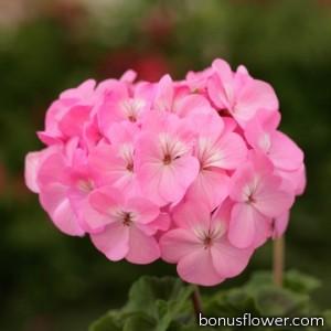 Пеларгония Dancer F2 Pink